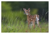 Spring Fawn Giclee Print by Nick Kalathas