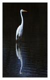 Elegant Egret II Posters by David Drost