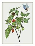Cape Gooseberry I Giclee Print by Melissa Wang