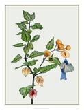 Cape Gooseberry II Giclee Print by Melissa Wang