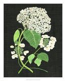 White Hydrangea Study II Giclee Print by Melissa Wang