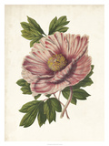 Striking Peony Giclee Print by  Van Houtteano