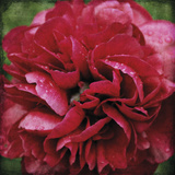 Peony Bloom Giclee Print by Pete Kelly