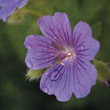 Cranesbill Bloom Giclee Print by Pete Kelly
