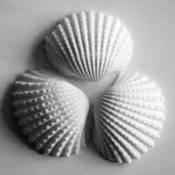 Clam Sea Shell Giclee Print by John Harper