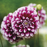 Dahlia Bloom Giclee Print by Pete Kelly