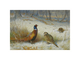 Pheasant in Winter Premium Giclee Print by Archibald Thorburn