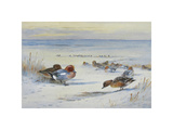 Widgeon in The Snow Premium Giclee Print by Archibald Thorburn
