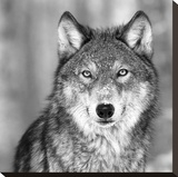 Wolf Stretched Canvas Print by  PhotoINC Studio