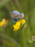 Blue Butterfly Yellow Blossom Poster by  Grab My Art