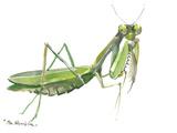 Praying Mantis Print by Suren Nersisyan