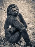 Chimpanzee Gorilla Poster by  Wonderful Dream