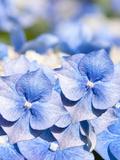 Blue Hydrangea Flower Floral Closeup Art by  Grab My Art