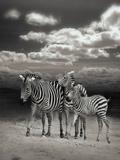 African Zebra Art by  Wonderful Dream