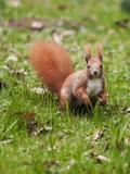 Cute Squirrel Mammal 2 Posters by  Grab My Art