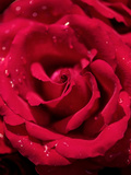 Red Rose Closeup Waterdrops Posters by  Grab My Art