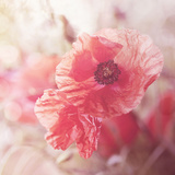 Soft Poppy - Square Prints by  Lebens Art