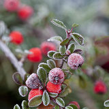 Winter Berries - Square Prints by  Lebens Art