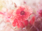 Soft Poppy Prints by  Lebens Art