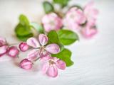 Apple Blossom 2 Poster par  Lebens Art