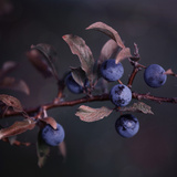 Autumn Berries - Square Posters by  Lebens Art