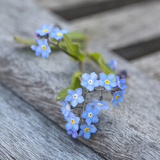 Forget Me Not - Square 2 Print by  Lebens Art