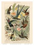 Exotic Humming Birds (Kolibris) - Bookplate from Brockhaus' Konversations-Lexikon Vol. 2 Posters par G. Muetrel
