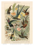 Exotic Humming Birds (Kolibris) - Bookplate from Brockhaus' Konversations-Lexikon Vol. 2 Posters by G. Muetrel
