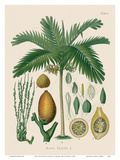 Betel Nut Palm - From Hermann Koehler's Medicinal Plants Affiches