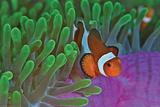 Clownfish & Anemones Plakater