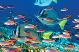 Yellow-Tailed Sturgeonfish Posters