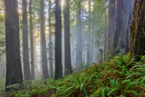 California, Redwood National Park Photographic Print by Don White