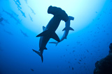Scalloped Hammerhead Sharks, Sphyrna Lewini, Cocos Island, Costa Rica, East Pacific Ocean Photographic Print by Martin Strmiska