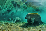 Manatees (Trichechus Sp.), Three Sisters Springs, Crystal River, Florida, USA Photographic Print by Klaus-Peter Wolf