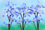 Chionodoxa Forbesii 'Blue Giant' Glory of the Snow March Photographic Print by Chris Burrows