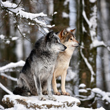 Male and Female Leaders of the Pack, Alpha Wolf, Look Out Photographic Print by Klaus-Peter Wolf