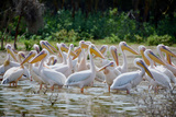 Africa: Kenya: a Flock of Yellow Beaked Pelican Looks Out for Food Photographic Print by Lindsay Constable