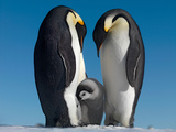 Emperor Penguin Couple with Chick, October, Snow Hill Island, Weddell Sea, Antarctica Papier Photo par Steve Bloom