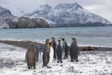 King Penguins Aptenodytes Patagonicus Holmestrand South Georgia Photographic Print by David Tipling