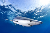 Blue Shark (Prionace Glauca), Failal, Azores, Portugal Photographic Print by Klaus-Peter Wolf