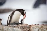 Antarctica, Antarctic Peninsula, Petermann Island, Gentoo Penguin, Gentoo Penguin with Chick Photographic Print by Sue Flood