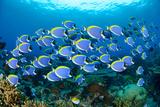Acanthurus Leucosternon, Powderblue Surgeonfish, Maradhoo, Addu Atoll, Maldives, Indian Ocean Photographic Print by Wolfgang Pölzer