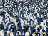A Colony of King Penguins on the South Georgia Islands, Antarctica Photographic Print by Mark Green