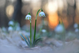Spring Snowflake (Leucojum Vernum), Sunset, Alluvial Forest, Saxony, Germany Photographic Print by Klaus-Peter Wolf