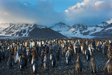 Dawn at King Penguin (Aptenodytes Patagonicus) Rookery at St Andrews Bay South Georgia Photographic Print by David Tipling