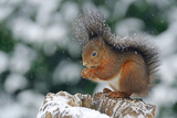 Squirrel (Sciurus Vulgaris) Sitting Photographic Print by Klaus-Peter Wolf