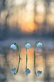Spring Snowflake (Leucojum Vernum), Flowers Photographic Print by Klaus-Peter Wolf