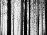 Close-Up of Trees in Mist Photographic Print by Mikael Svensson
