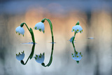 Spring Snowflake (Leucojum Vernum), Flowers on Flooded Floodplains, Leipzig, Saxony, Germany Photographic Print by Klaus-Peter Wolf