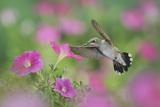 Ruby-Throated Hummingbird (Archilochus Colubris), Female in Flight Feeding Photographic Print by Rolf Nussbaumer